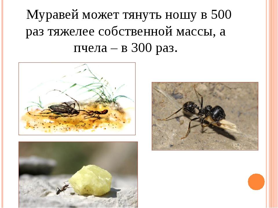 Сколько весит 1 муравей. сколько весит муравей и какой вес он может поднять