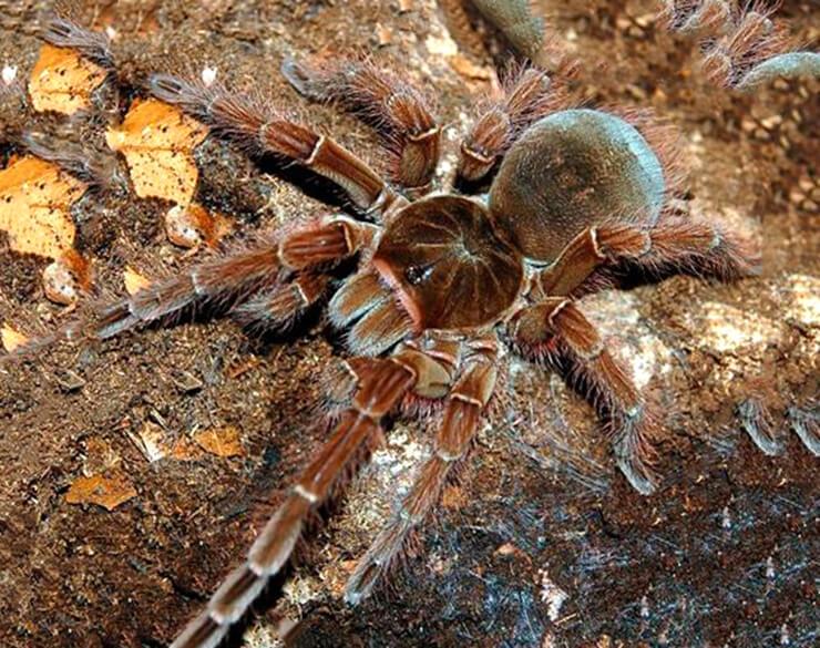 Топ 10 самых больших пауков в мире
