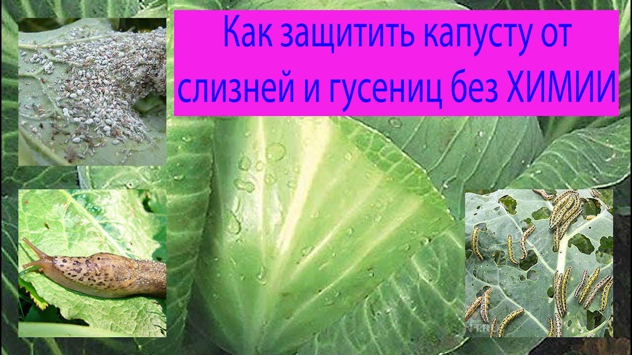 Народные средства от вредителей капусты на supersadovnik.ru
