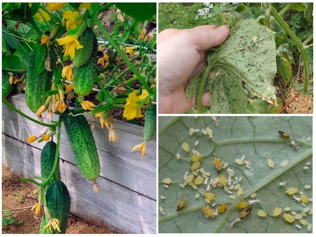 Тля на огурцах: как бороться народными средствами, чем обработать листья, в том числе снизу, из химических, биологических препаратов и особенности процесса в теплицедача эксперт