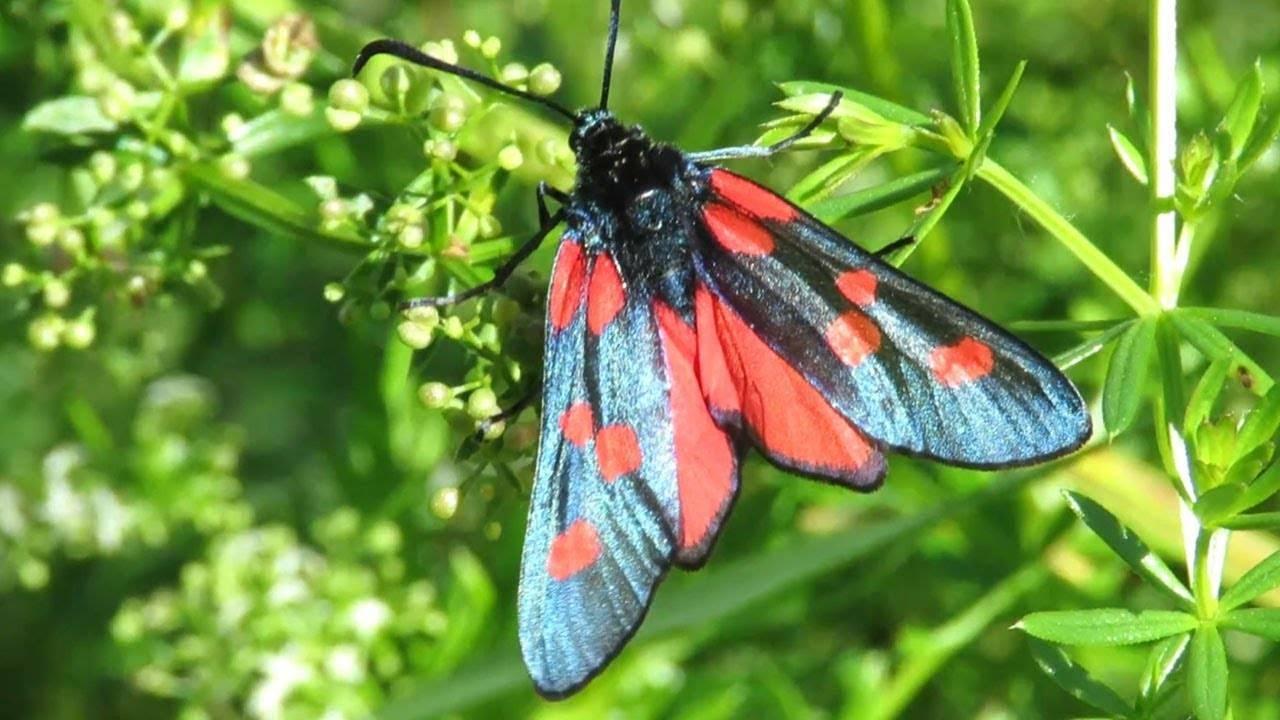 Бабочка: описание, повадки, места обитания, видео, фото