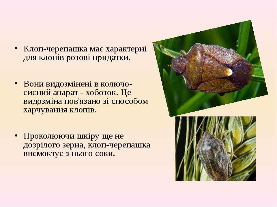 Клоп вредная черепашка: фото, чем питается, меры борьбы