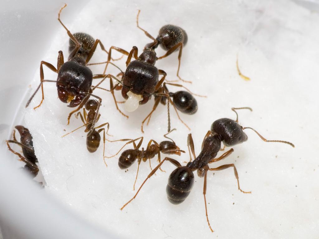 Messor structor (степные муравьи-жнецы):содержание в домашних условиях. продолжительность жизни муравьев в зависимости от их вида