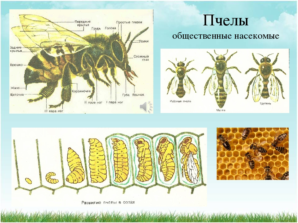 Как размножаются пчелы, формы размножения