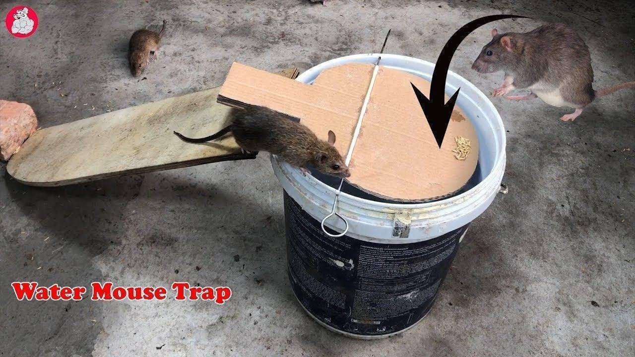 Как можно поймать крысу в доме или квартире: самодельные и покупные ловушки