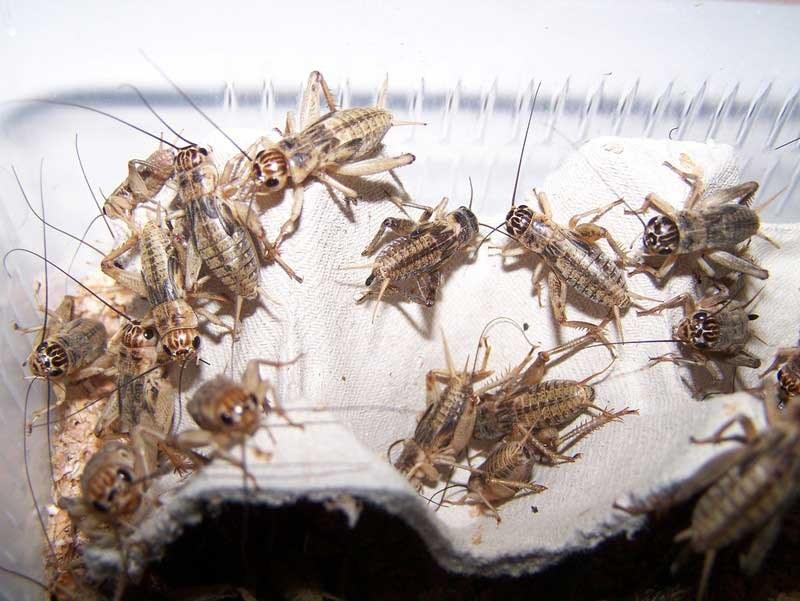 Аргентинский таракан: разведение и условия содержания, морфологическое описание blaptica dubia