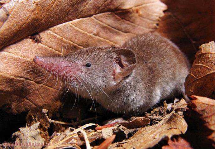 Описание лесной мыши