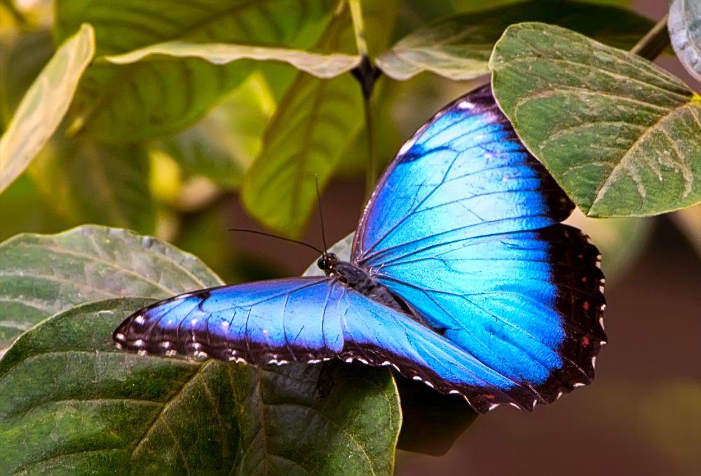 Морфо — большие и невероятно красивые бабочки