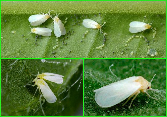 Почему появляется белокрылка на рассаде и как быстро от нее избавиться