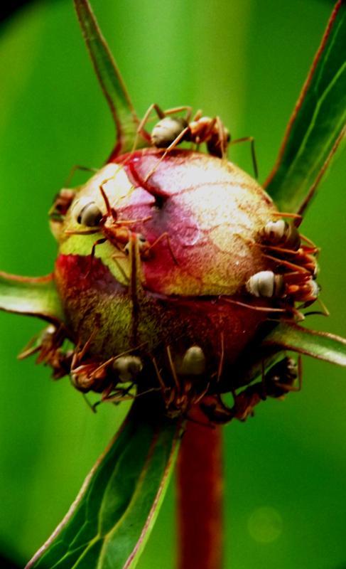 Как избавиться от муравьев в огороде: народные средства