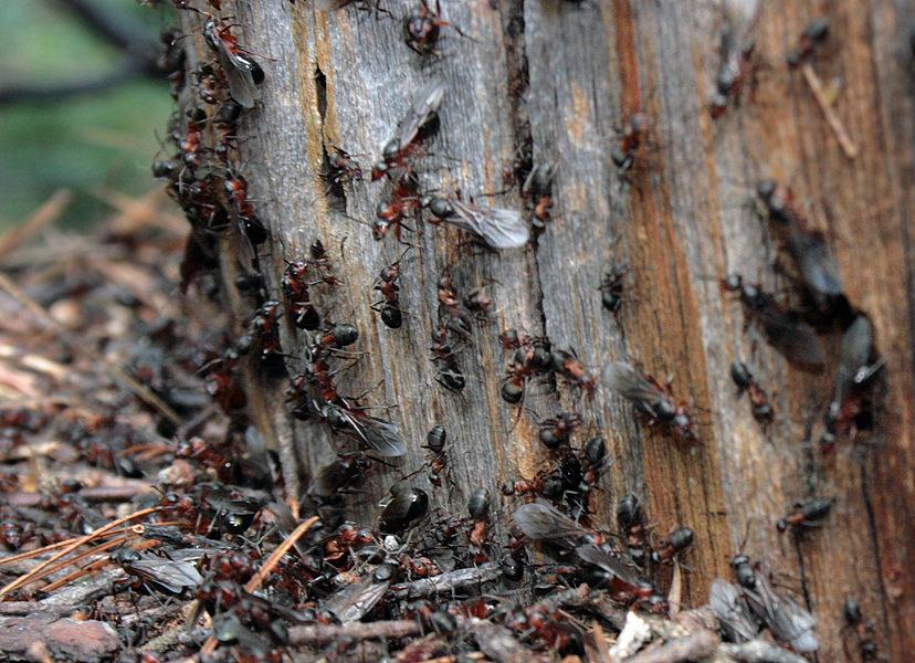 Муравьи, методы борьбы с вредителями на даче и огороде