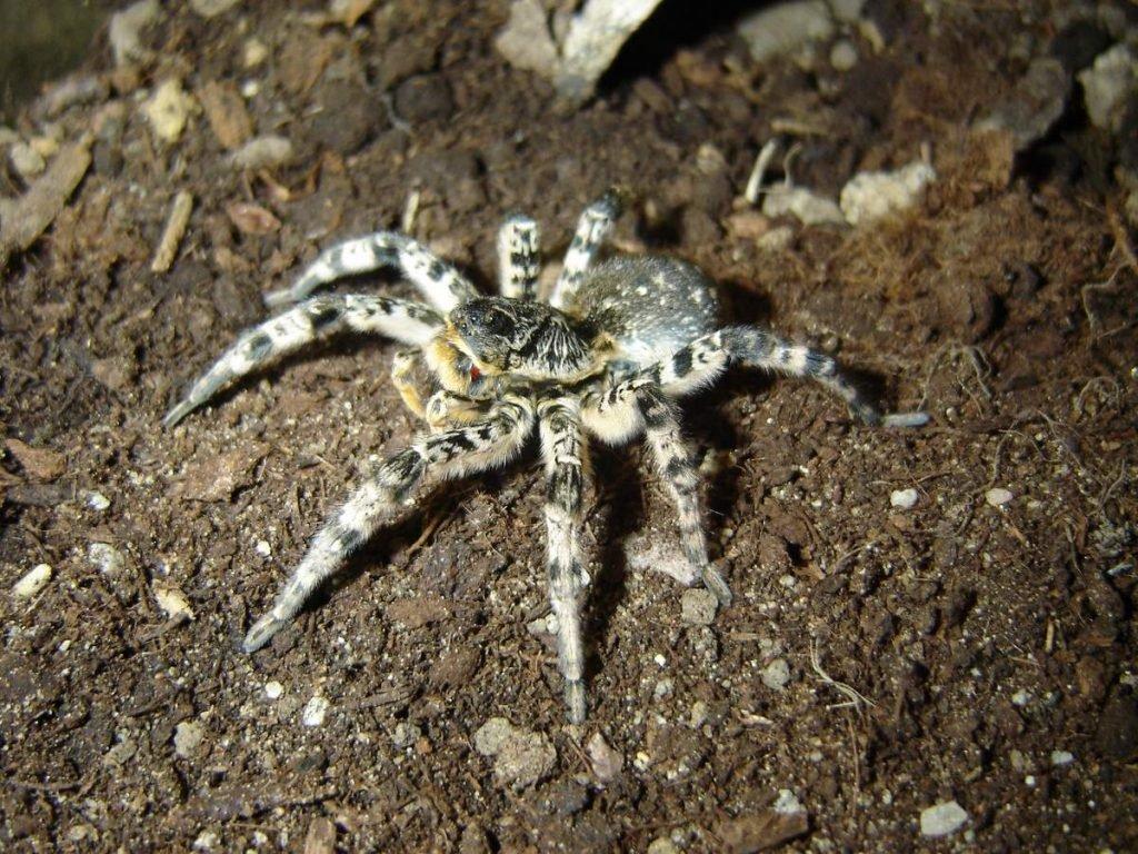 Как выглядит паук тарантул