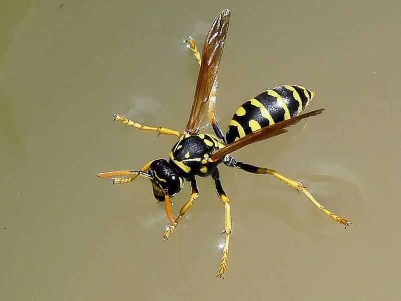 Муха похожая на осу. описание и фото полосатой мухи похожей на осу