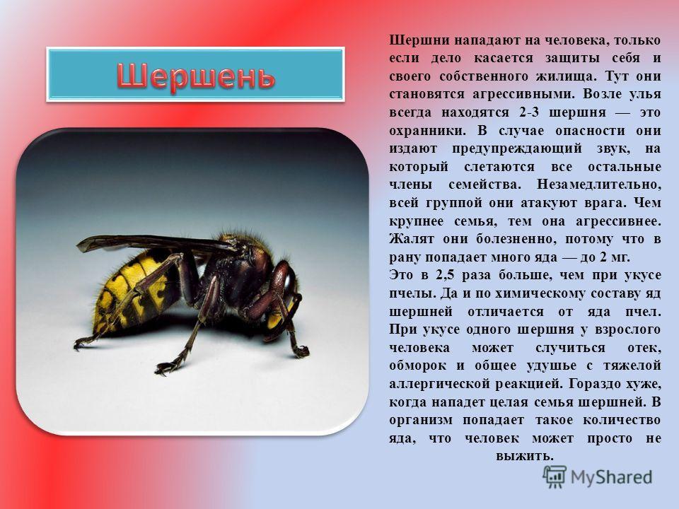 Чем опасен укус шершня - как это работает - info.sibnet.ru