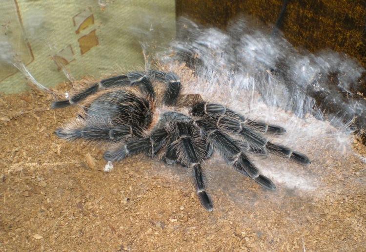 Линька паука: как меняет шкуру и зачем её сбрасывает, как это выглядит?