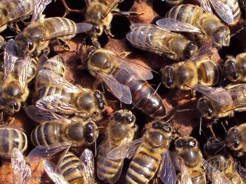 Карпатка и среднерусская породы пчел