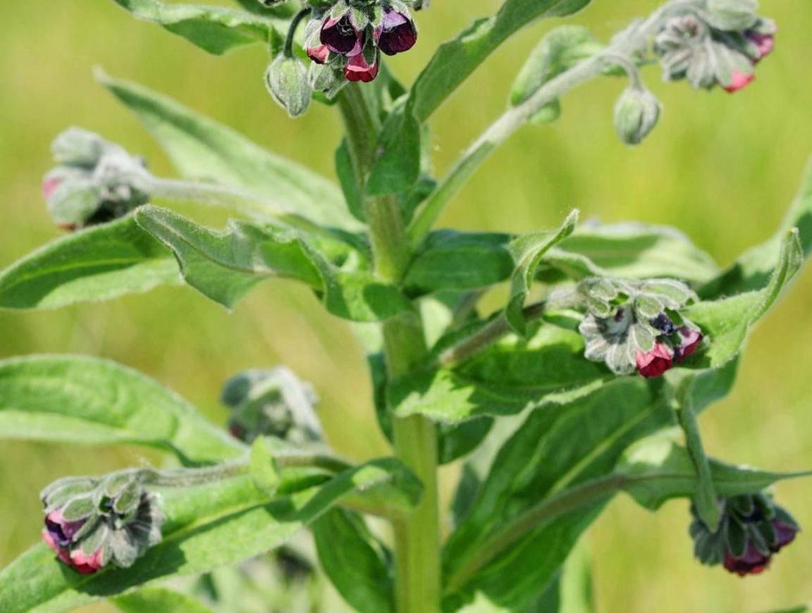 Чернокорень: выращивание из семян, посадка и уход, виды