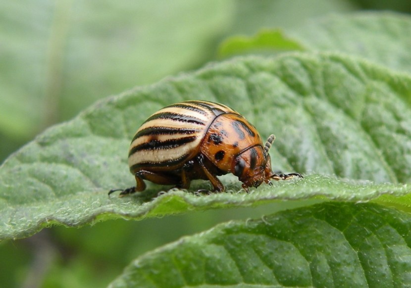Колорадский жук: характеристики, среда обитания, методы борьбы