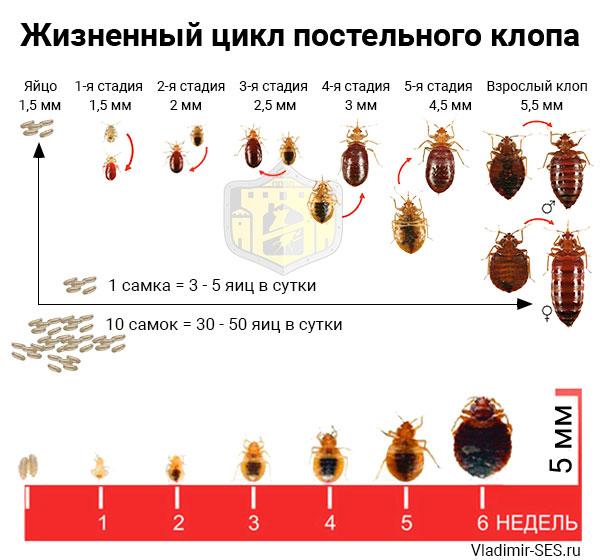 Сколько живут домашние тараканы - средняя продолжительность жизни
