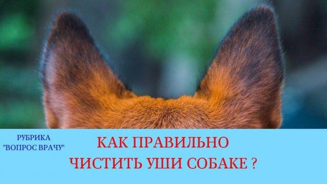 Мухи на ушах у собаки лечение