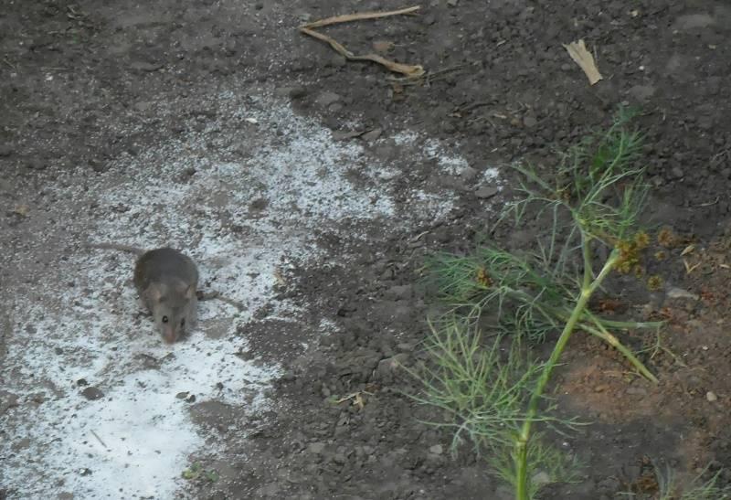 Как защитить погреб от грызунов. уничтожение подвальных крыс