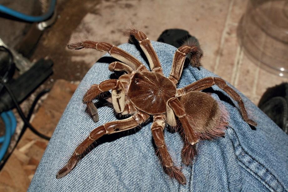 Самый большой паук в мире: топ-10 - oozoo.ru