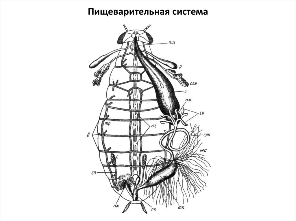 Строение таракана: сколько ног у таракана, строение конечностей