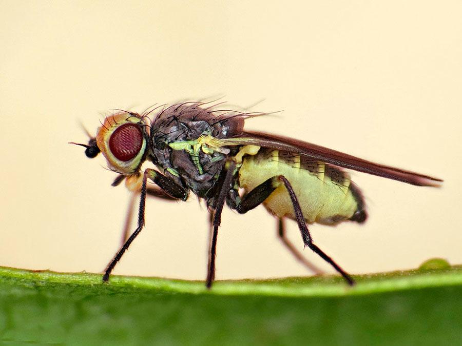 Как бороться с луковой мухой на грядке и дома: полезные советы
