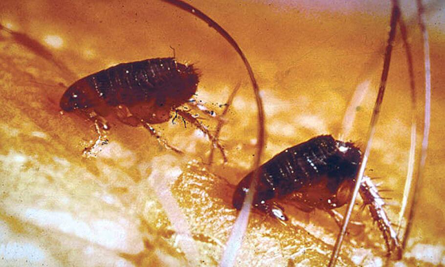 Уничтожение мелких вредных насекомых самостоятельно: блохи в квартире – откуда и как избавиться