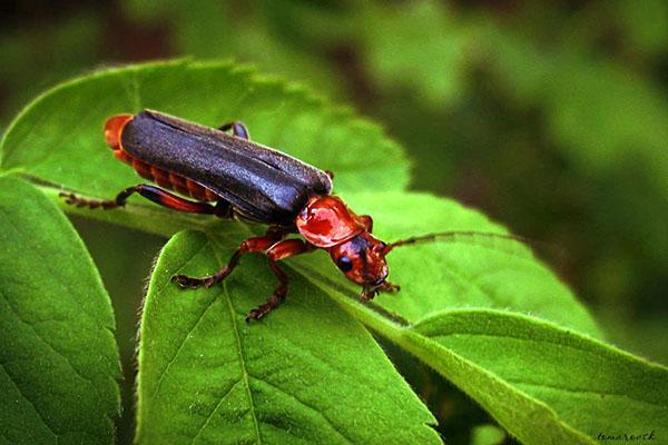 Жук пожарник. образ жизни и среда обитания жука пожарника