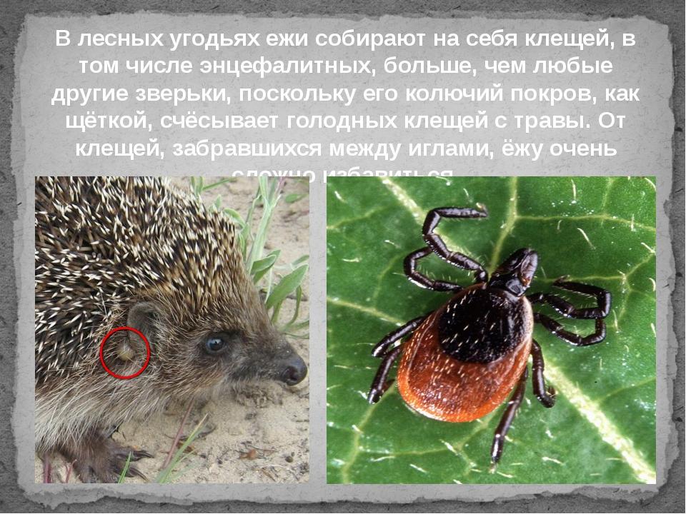 """Болезни, которые переносят дикие мыши и крысы -  фбуз """"центр гигиены и эпидемиологии в красноярском крае"""""""