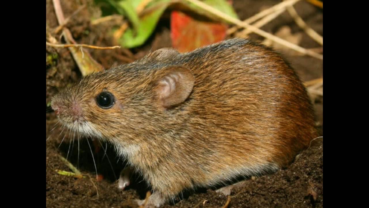 Полевая мышь | мир животных и растений