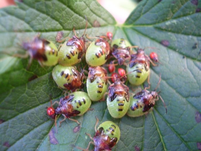 Заболевания малины и как с ними бороться