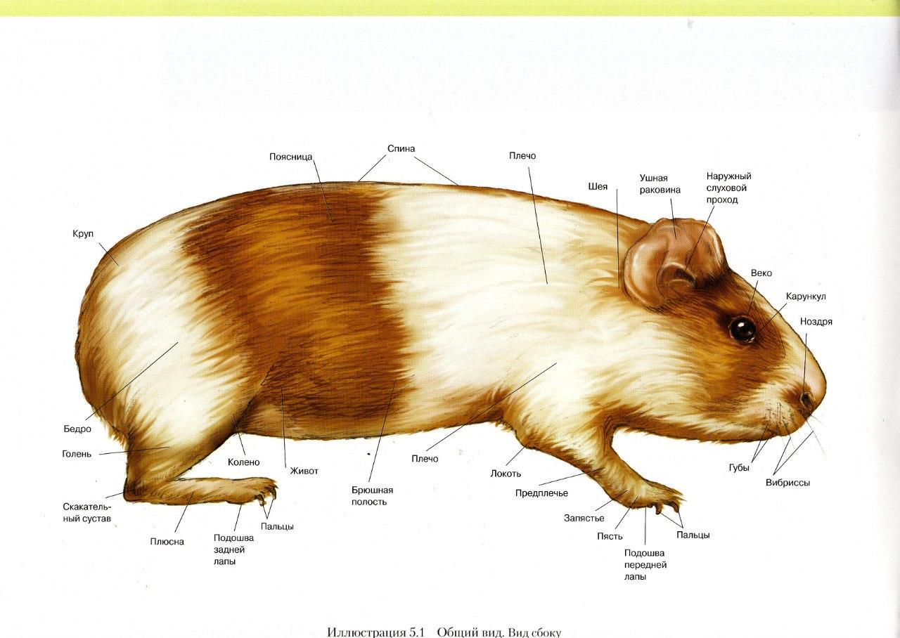 Анатомия и физиология мышей: особенности строения и жизнедеятельности 2021