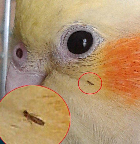 Клещи у попугаев | симптомы и лечение попугаев
