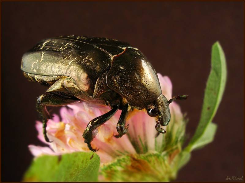 Описание бронзовки золотистой: жизненный цикл большого зеленого жука - молочай