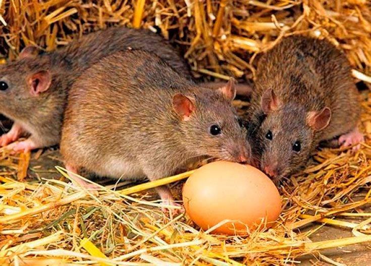 Как защитить погреб от грызунов. уничтожение подвальных крыс | дачная жизнь