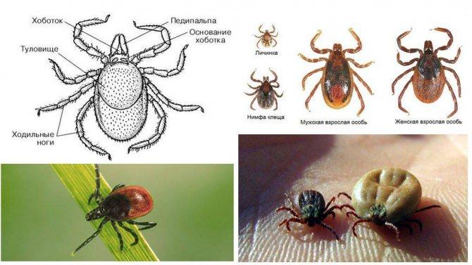 Иксодовый (энцефалитный, таежный, собачий) клещ – описание с фото, +места обитания, +виды, +жизненный цикл
