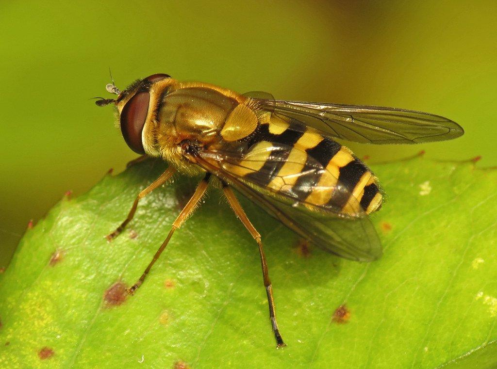 Журчалка – муха журчалка, описание. описание и фото полосатой мухи похожей на осу муха журчалка среда обитания