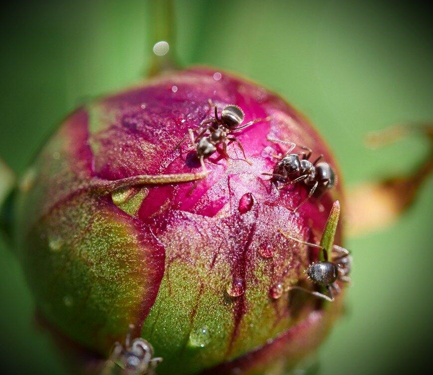 Как избавиться от муравьев на пионах: народными средствами, с помощью уксуса