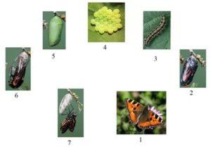 Бабочка павлиний глаз — фото и образ жизни