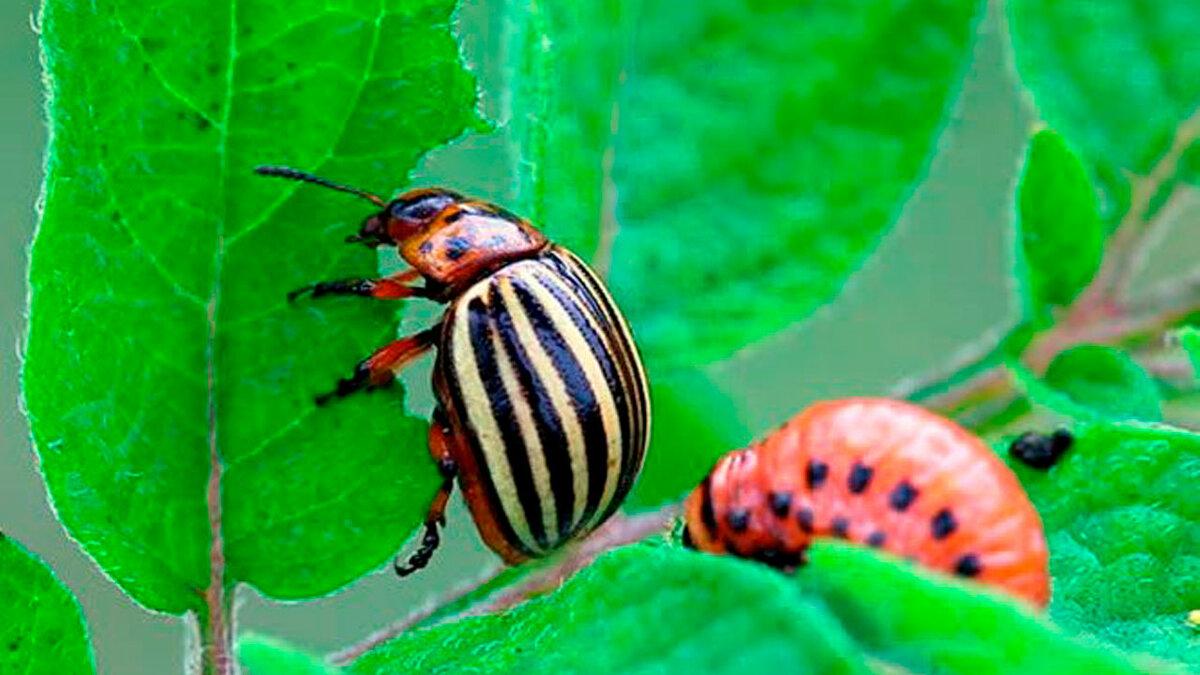 Как избавиться от колорадского жука: борьба народными средствами, лучшие препараты