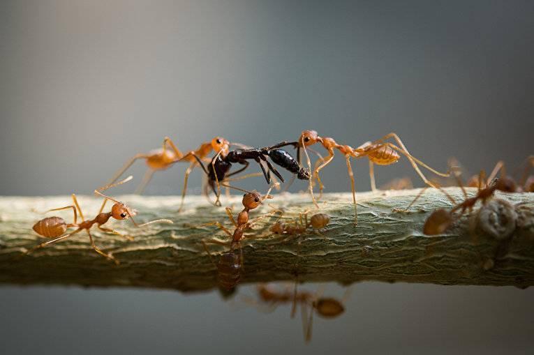 Как муравьи используют своих «рабов» | новости сибирской науки