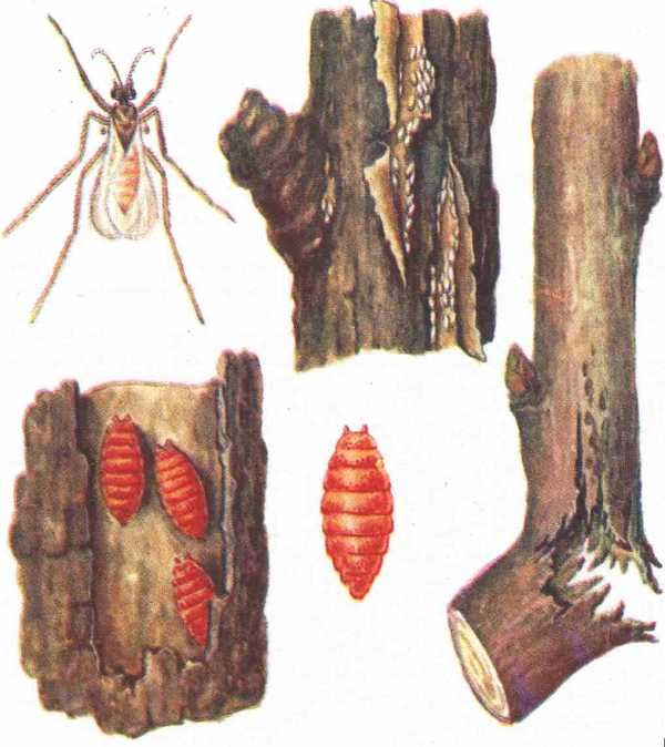 Борьба с вредителями малины: методы от насекомых, видео и фото