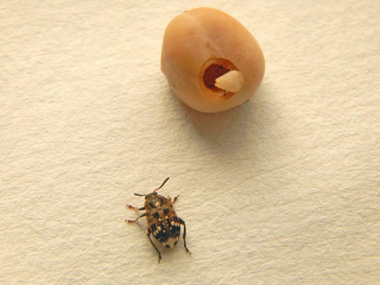 Брухус, или гороховая зерновка: вред и способы борьбы с насекомым