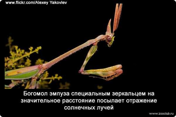 Богомол - описание, виды, где живет и чем питается удивительное насекомое