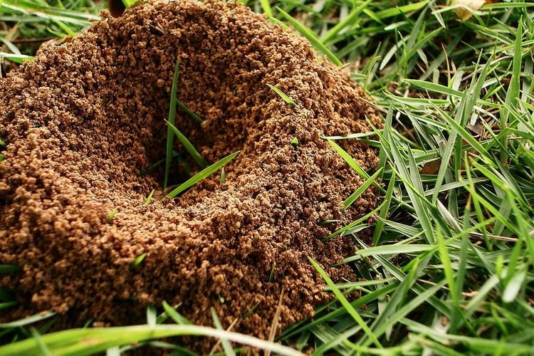 Пшено как средство от муравьев на дачном участке