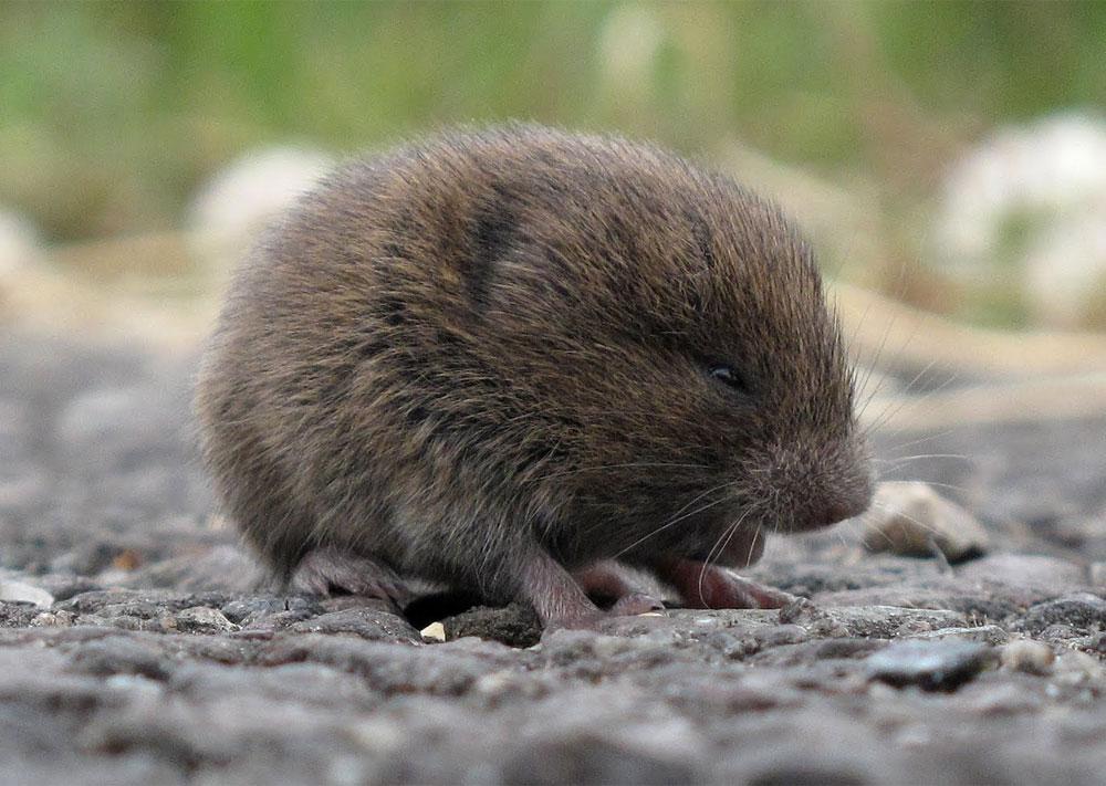 Мышь полёвка фото: чем питается, как выглядит, как зимует, причины появления, особенности борьбы с вредителем
