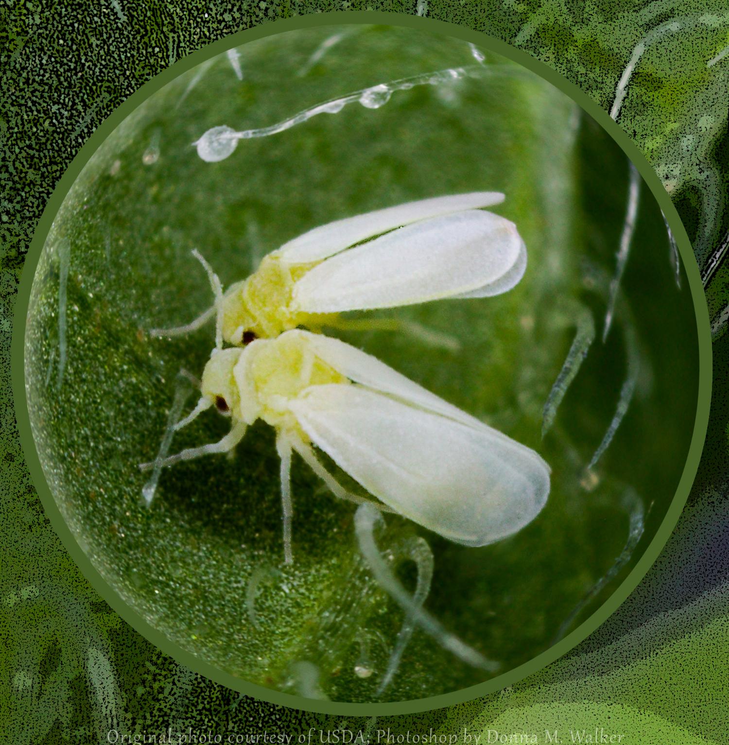 Белокрылка на комнатных растениях: как избавиться?