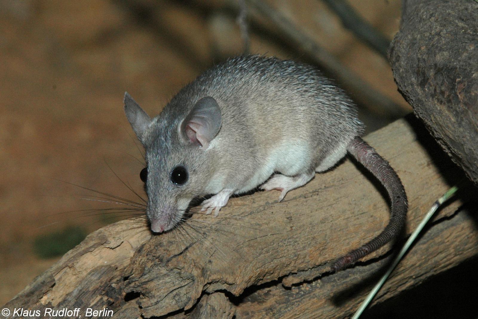 Спаривание полевых мышей. как быстро избавиться от мышей